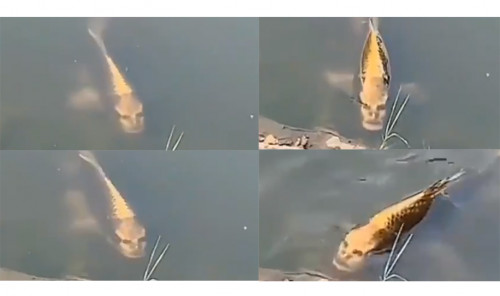 Peixe com rosto humano é visto no Parque Passaúna