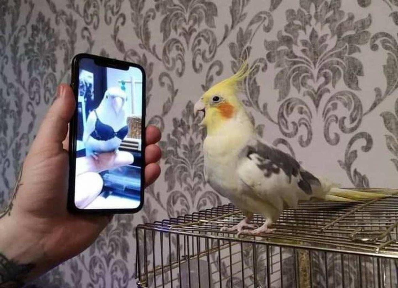 Webnamoro entre calopsitas causa comoção e congresso deve aprovar casamento entre aves